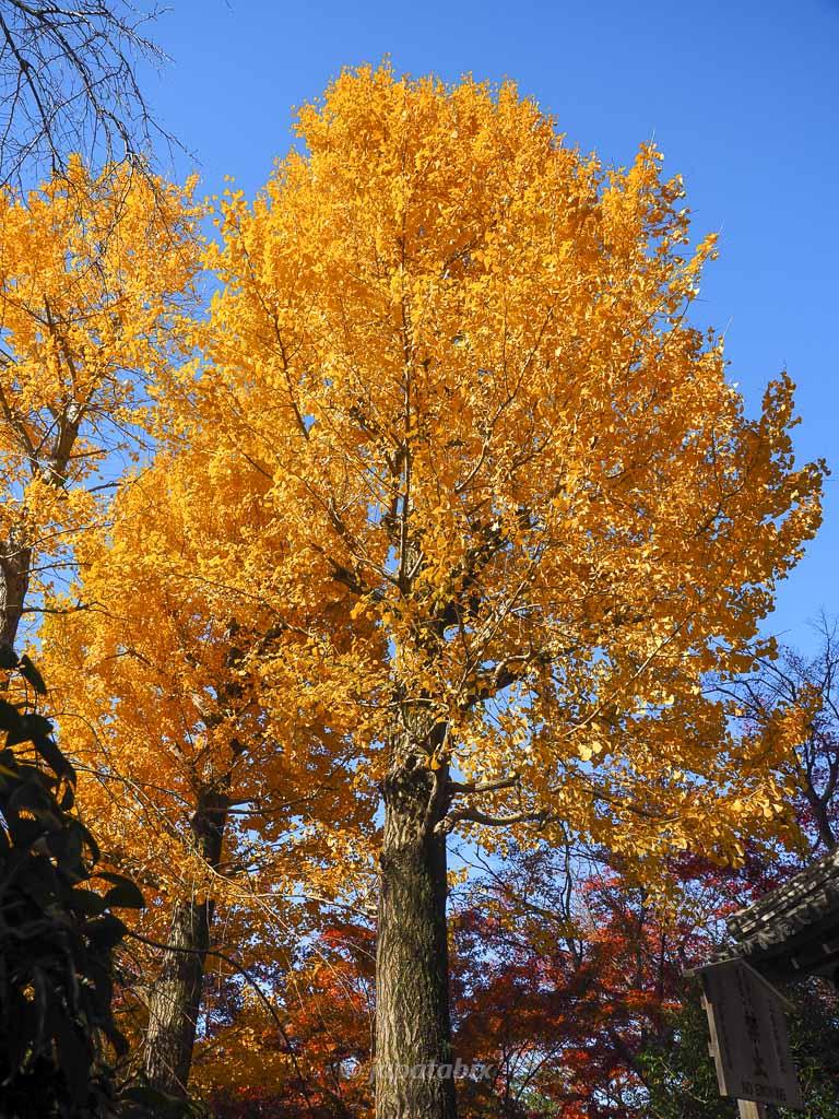 京都 真如堂(真正極楽寺)のイチョウの黄葉