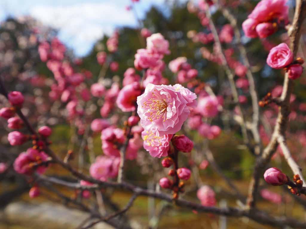 随心院 梅満開の小野梅園
