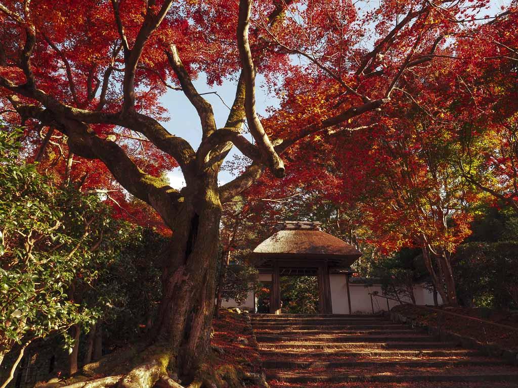 京都 安楽寺 山門前の散紅葉