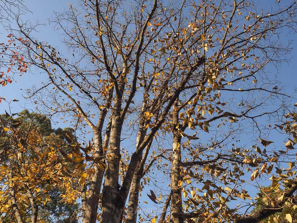 今熊野観音寺 菩提樹
